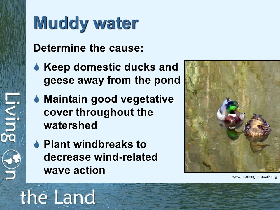 Muddy water Determine the cause:  Keep domestic ducks and geese away from the pond  Maintain good vegetative cover throughout the watershed  Plant windbreaks to decrease wind-related wave action www.morningsidepark.org