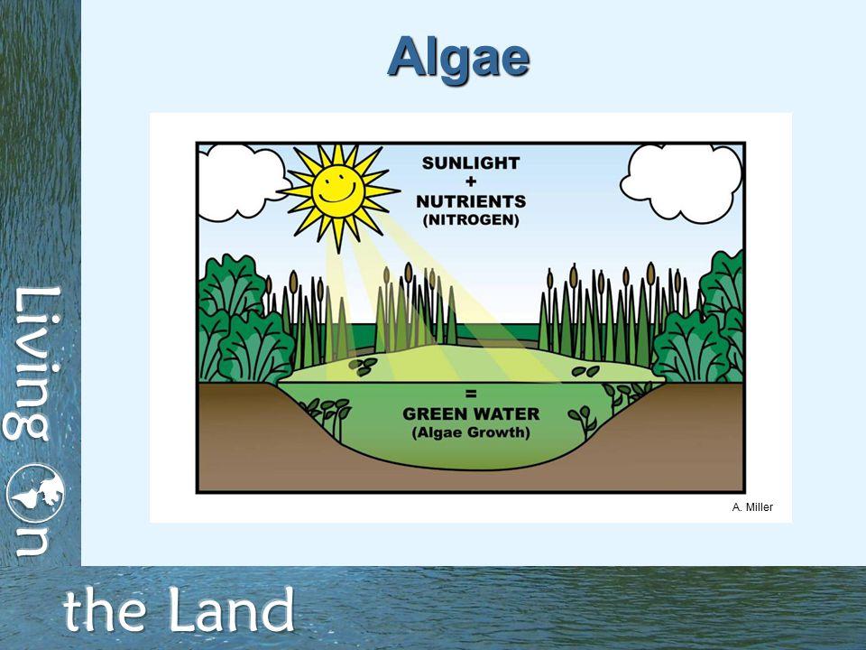 Algae A. Miller