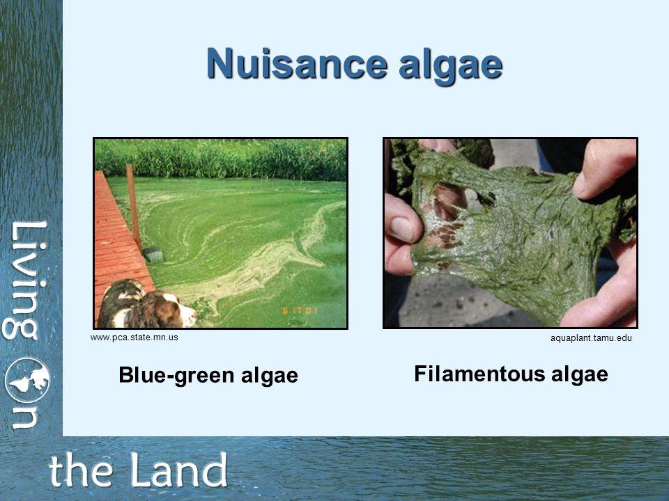 Nuisance algae Filamentous algae Blue-green algae aquaplant.tamu.edu www.pca.state.mn.us