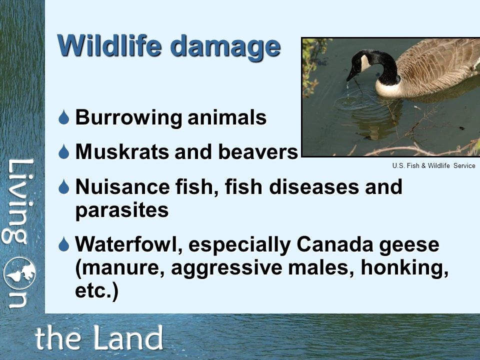 Wildlife damage  Burrowing animals  Muskrats and beavers  Nuisance fish, fish diseases and parasites  Waterfowl, especially Canada geese (manure, aggressive males, honking, etc.) U.S.