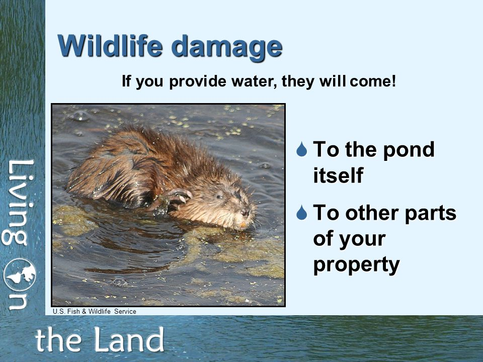 Wildlife damage  To the pond itself  To other parts of your property If you provide water, they will come.