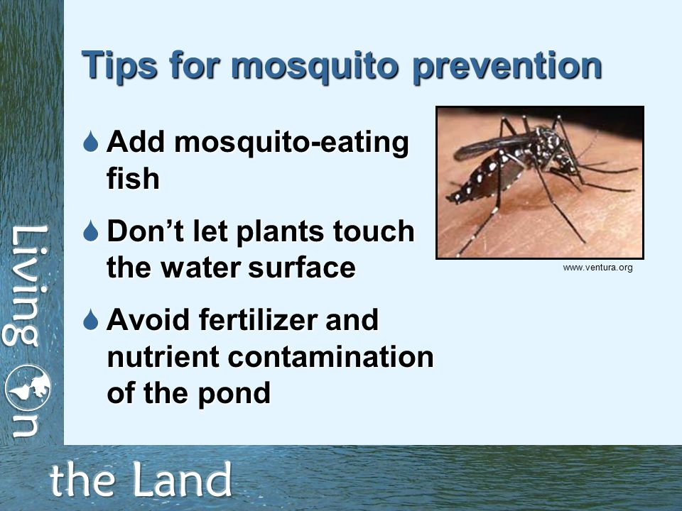 Tips for mosquito prevention  Add mosquito-eating fish  Don't let plants touch the water surface  Avoid fertilizer and nutrient contamination of the pond www.ventura.org