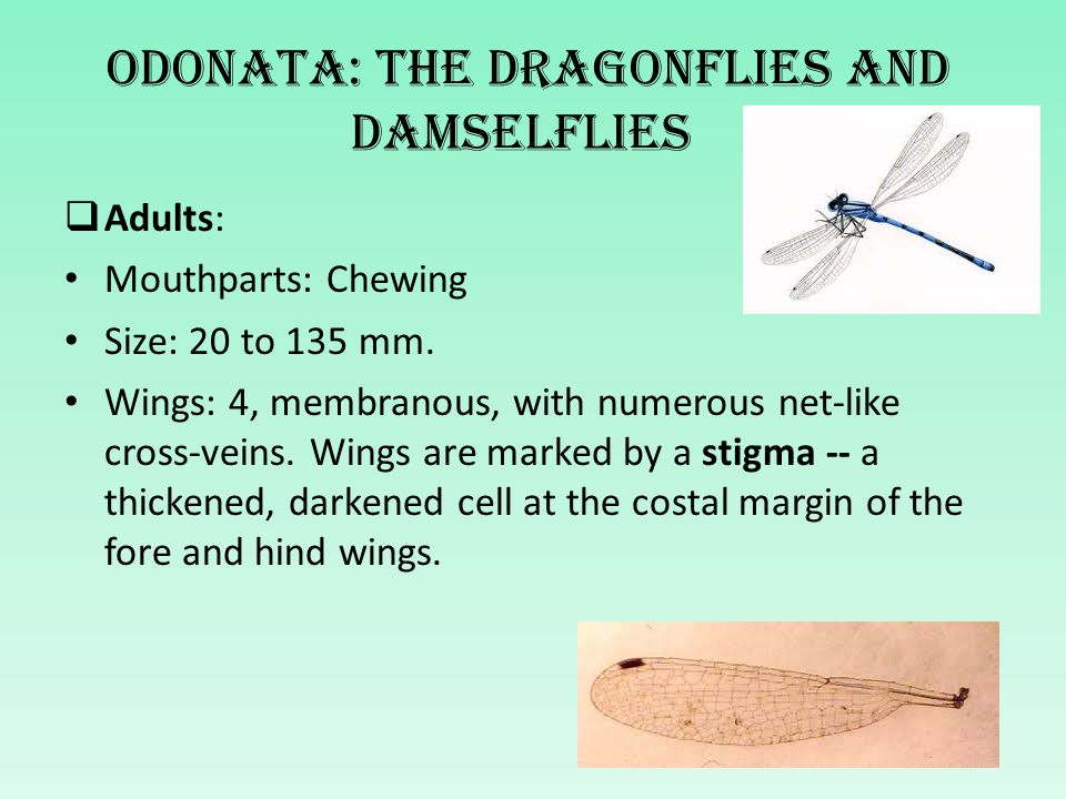 Odonata: The dragonflies and damselflies  Adults: Mouthparts: Chewing Size: 20 to 135 mm. Wings: 4, membranous, with numerous net-like cross-veins. W
