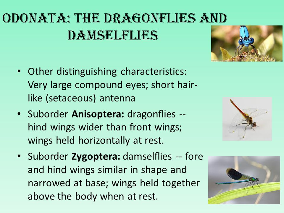 Left: A dragonfly (Texas A & M University).Right: A damselfly (University of Florida).