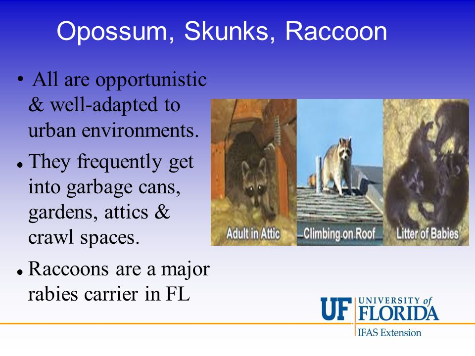 Opossum, Skunks, Raccoon All are opportunistic & well-adapted to urban environments. They frequently get into garbage cans, gardens, attics & crawl sp