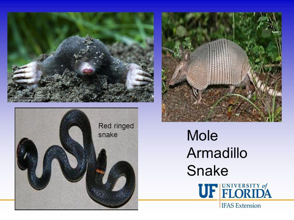 Mole Armadillo Snake Red ringed snake