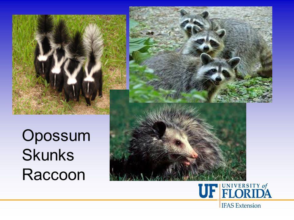 Opossum Skunks Raccoon