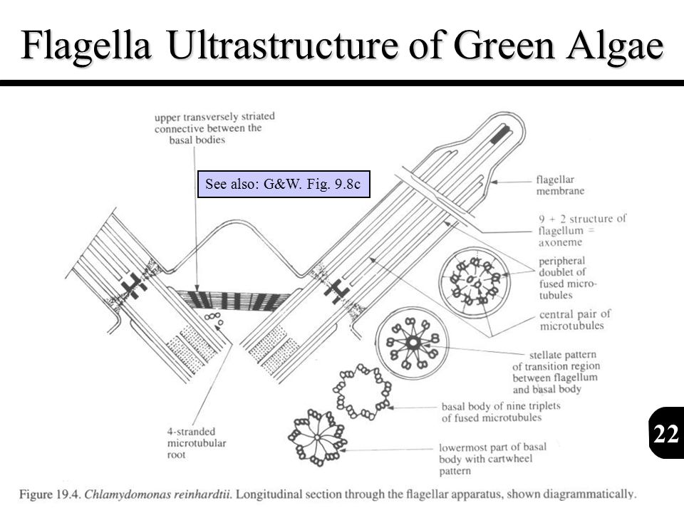 22 Flagella Ultrastructure of Green Algae See also: G&W. Fig. 9.8c