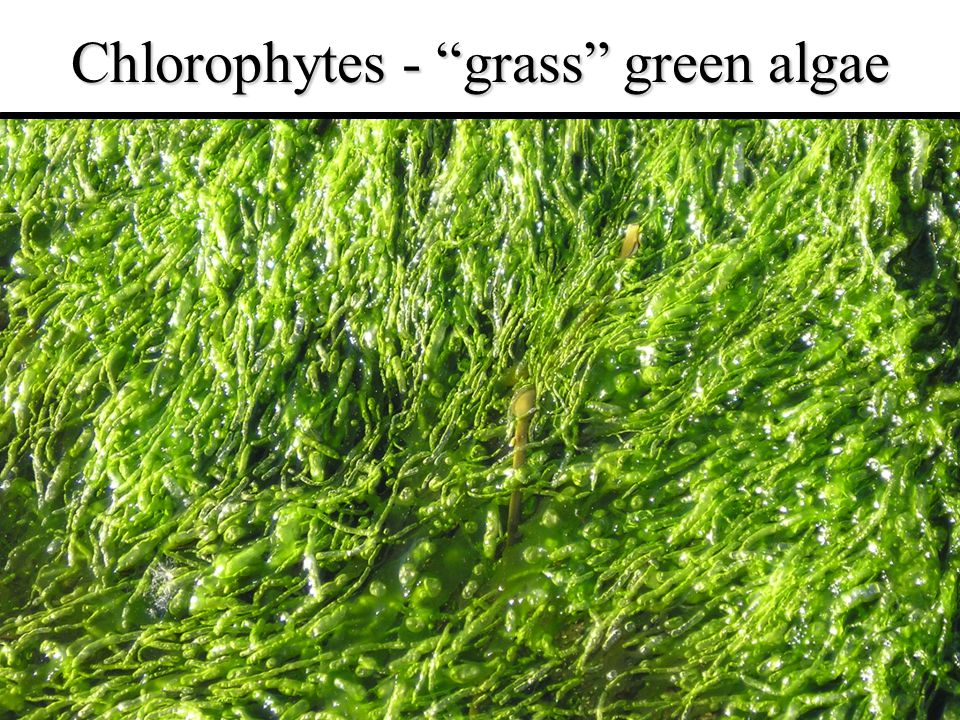 "4 Chlorophytes - ""grass"" green algae"