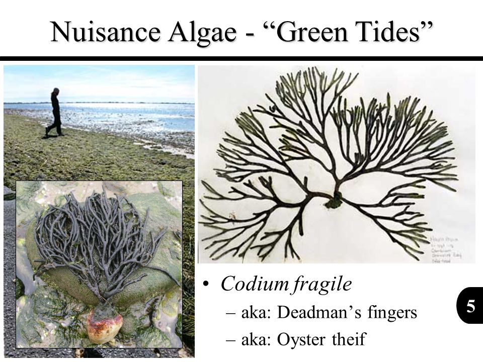 6 Nuisance Algae - Green Tides Ulva bloom in Greenwich Bay, RI