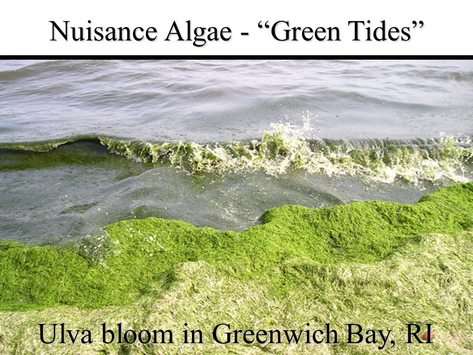 "6 Nuisance Algae - ""Green Tides"" Ulva bloom in Greenwich Bay, RI"