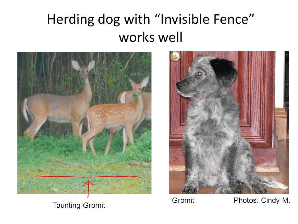 Herding dog with Invisible Fence works well Gromit Photos: Cindy M. Taunting Gromit
