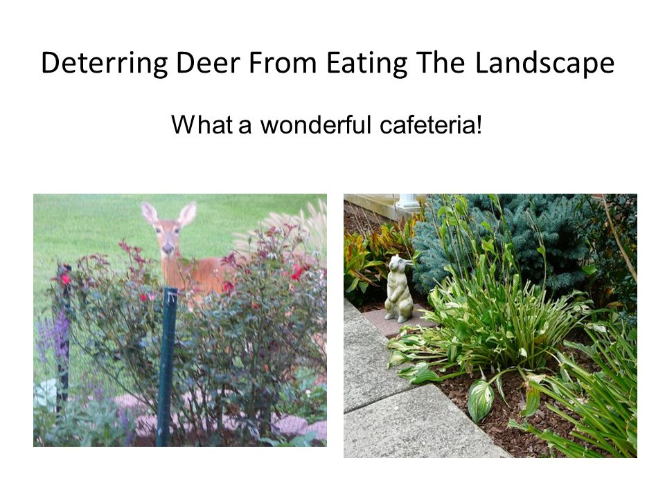 Deterring Deer From Eating The Landscape What a wonderful cafeteria!