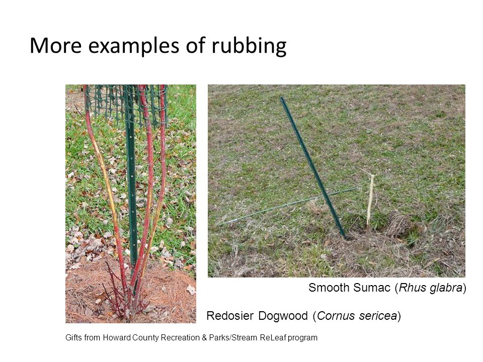 More examples of rubbing Smooth Sumac (Rhus glabra) Redosier Dogwood (Cornus sericea) Gifts from Howard County Recreation & Parks/Stream ReLeaf program