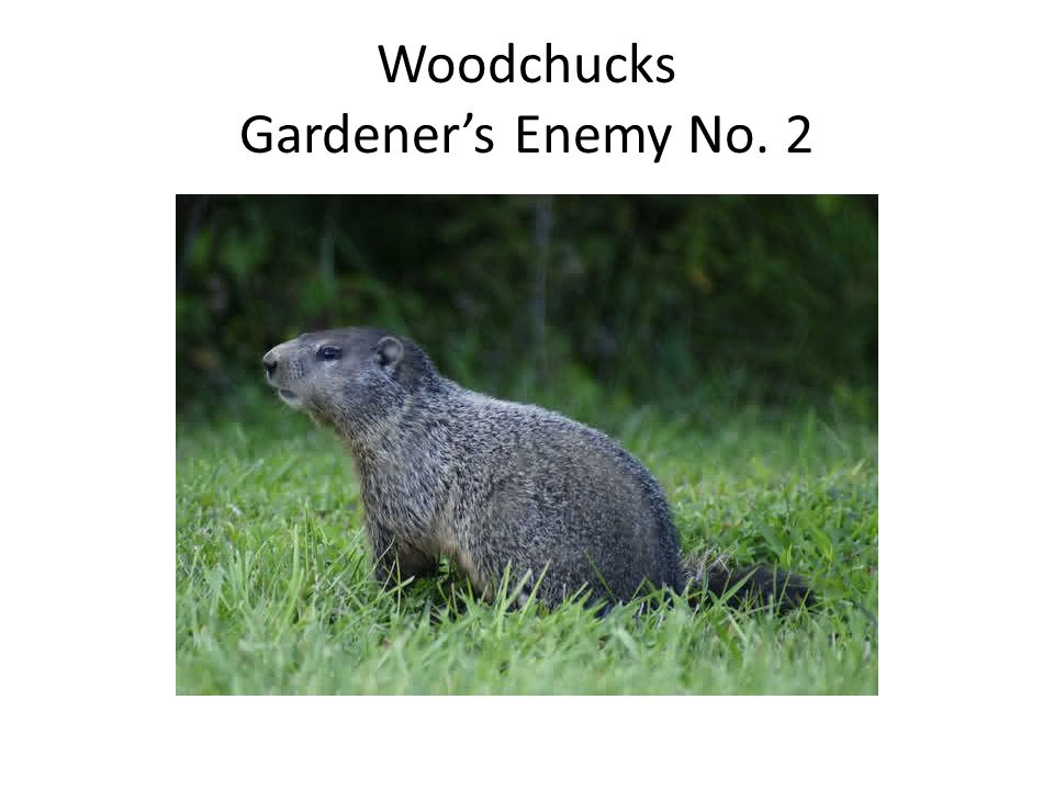 Woodchucks Gardener's Enemy No. 2
