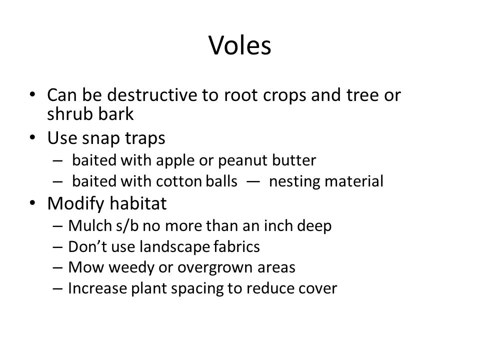 Voles Can be destructive to root crops and tree or shrub bark Use snap traps – baited with apple or peanut butter – baited with cotton balls — nesting material Modify habitat – Mulch s/b no more than an inch deep – Don't use landscape fabrics – Mow weedy or overgrown areas – Increase plant spacing to reduce cover