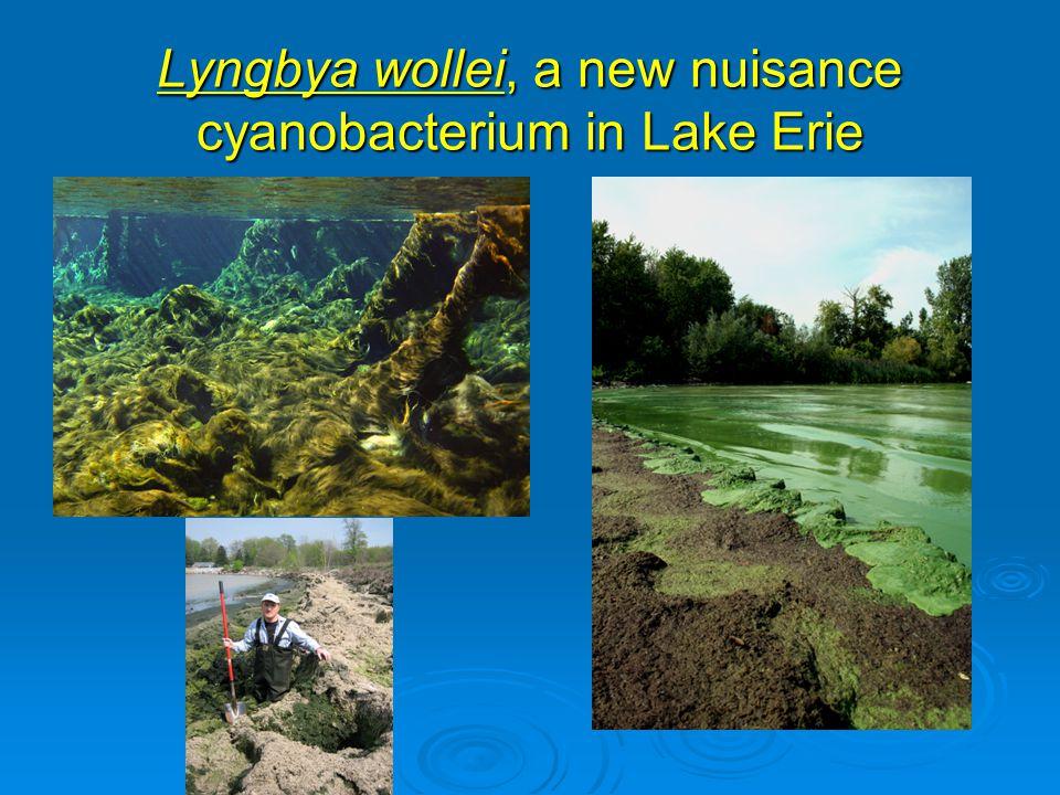 Lyngbya wollei, a new nuisance cyanobacterium in Lake Erie