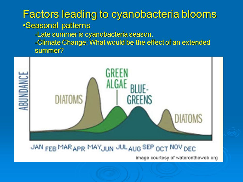 Factors leading to cyanobacteria blooms Phosphorus concentrationPhosphorus concentration -High P concentrations result in dominance by cyanobacteria (Kalff 2001)