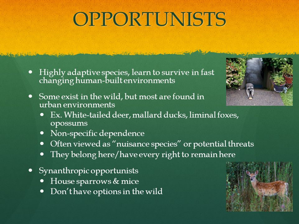 OPPORTUNISTS Highly adaptive species, learn to survive in fast changing human-built environments Some exist in the wild, but most are found in urban environments Ex.