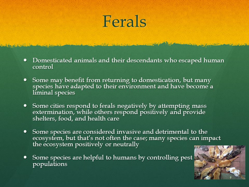 Ferals Domesticated animals and their descendants who escaped human control Domesticated animals and their descendants who escaped human control Some may benefit from returning to domestication, but many species have adapted to their environment and have become a liminal species Some may benefit from returning to domestication, but many species have adapted to their environment and have become a liminal species Some cities respond to ferals negatively by attempting mass extermination, while others respond positively and provide shelters, food, and health care Some cities respond to ferals negatively by attempting mass extermination, while others respond positively and provide shelters, food, and health care Some species are considered invasive and detrimental to the ecosystem, but that's not often the case; many species can impact the ecosystem positively or neutrally Some species are considered invasive and detrimental to the ecosystem, but that's not often the case; many species can impact the ecosystem positively or neutrally Some species are helpful to humans by controlling pest populations Some species are helpful to humans by controlling pest populations