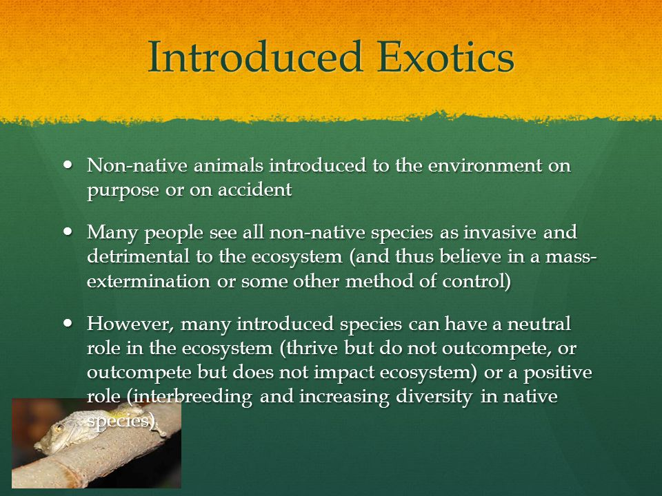 Introduced Exotics Non-native animals introduced to the environment on purpose or on accident Non-native animals introduced to the environment on purpose or on accident Many people see all non-native species as invasive and detrimental to the ecosystem (and thus believe in a mass- extermination or some other method of control) Many people see all non-native species as invasive and detrimental to the ecosystem (and thus believe in a mass- extermination or some other method of control) However, many introduced species can have a neutral role in the ecosystem (thrive but do not outcompete, or outcompete but does not impact ecosystem) or a positive role (interbreeding and increasing diversity in native species) However, many introduced species can have a neutral role in the ecosystem (thrive but do not outcompete, or outcompete but does not impact ecosystem) or a positive role (interbreeding and increasing diversity in native species)