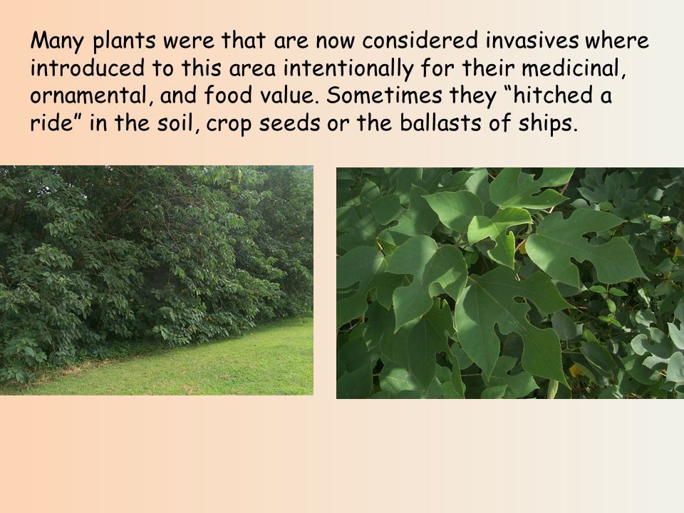 Many plants were that are now considered invasives where introduced to this area intentionally for their medicinal, ornamental, and food value.