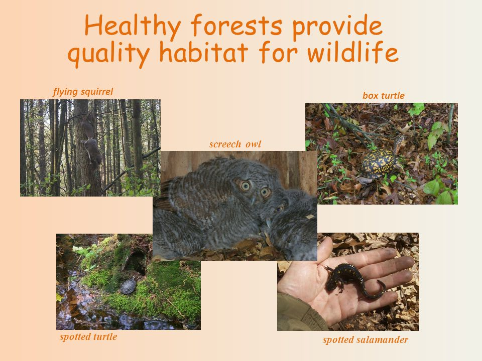 Healthy forests provide quality habitat for wildlife spotted salamander spotted turtle screech owl flying squirrel box turtle