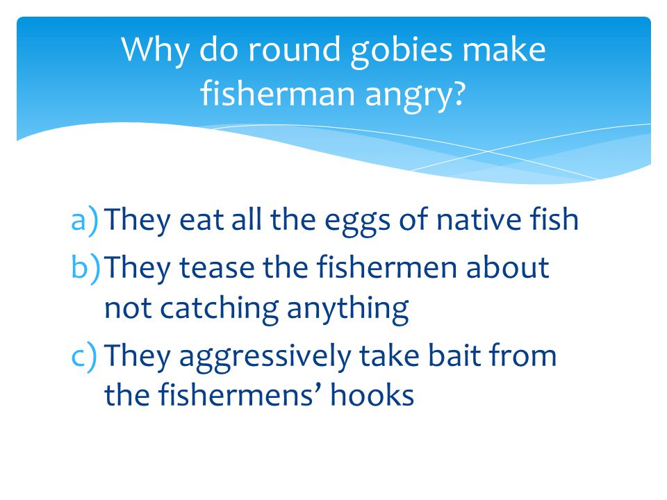 a)They eat all the eggs of native fish b)They tease the fishermen about not catching anything c)They aggressively take bait from the fishermens' hooks Why do round gobies make fisherman angry?