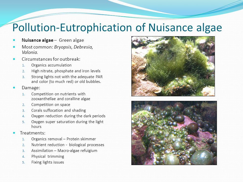 Pollution-Eutrophication of Nuisance algae Nuisance algae – Green algae Most common: Bryopsis, Debresia, Valonia. Circumstances for outbreak: 1. Organ