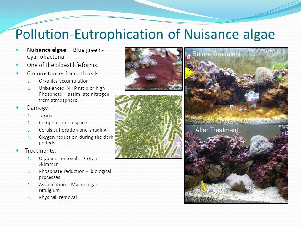 Pollution-Eutrophication of Nuisance algae Nuisance algae – Blue green - Cyanobacteria One of the oldest life forms. Circumstances for outbreak: 1. Or