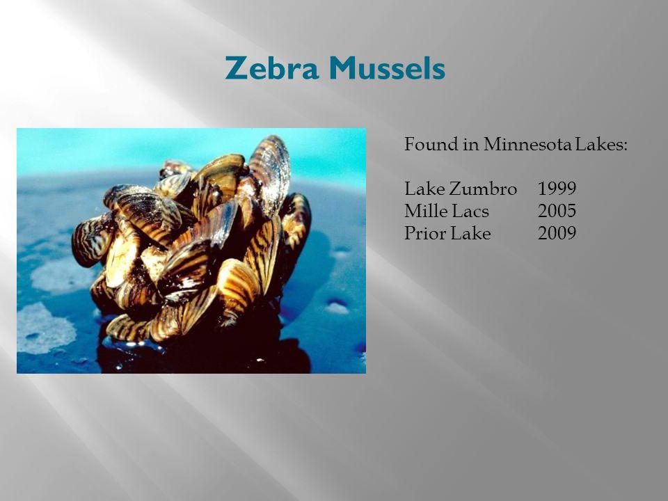 Found in Minnesota Lakes: Lake Zumbro1999 Mille Lacs2005 Prior Lake2009