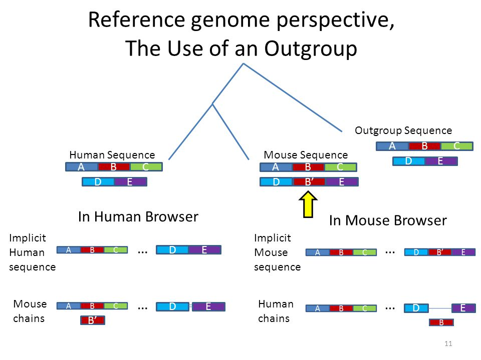 Reference genome perspective, The Use of an Outgroup ABC DE Outgroup Sequence ABC DE Human Sequence ABC DE Mouse Sequence B' In Human Browser Implicit Human sequence Mouse chains B' … … DE DE In Mouse Browser Implicit Mouse sequence Human chains … … DE 11