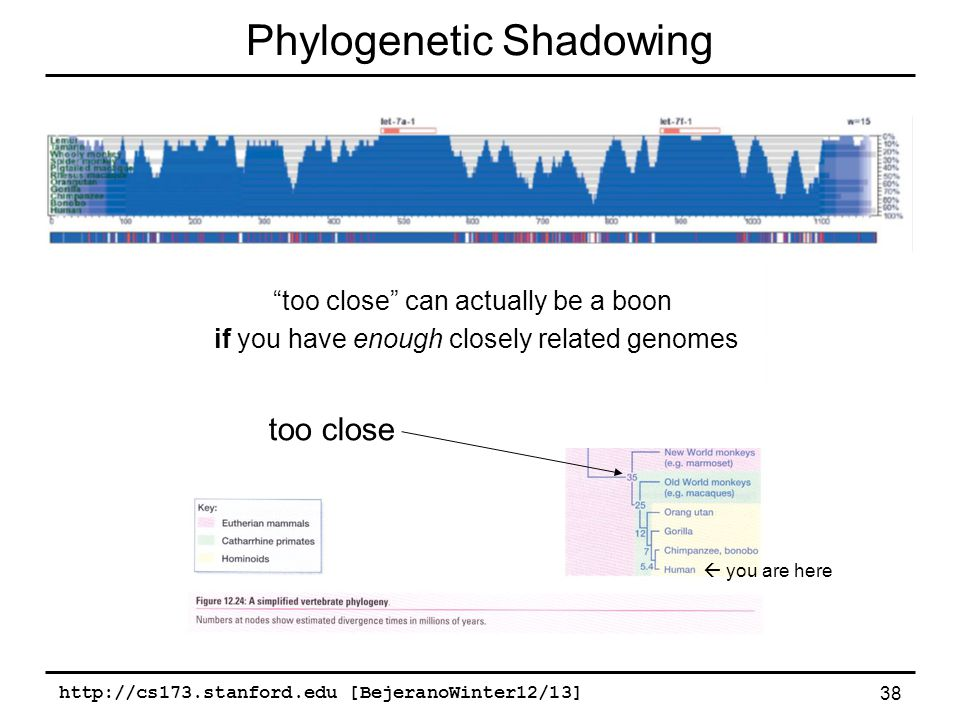 http://cs173.stanford.edu [BejeranoWinter12/13] 38, Opossum, Lizard, Stickleback Phylogenetic Shadowing  you are here too close too close can actually be a boon if you have enough closely related genomes