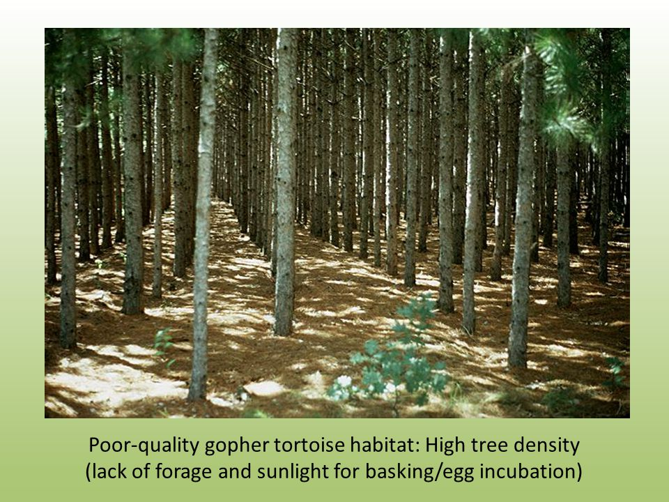 Poor-quality gopher tortoise habitat: High tree density (lack of forage and sunlight for basking/egg incubation)