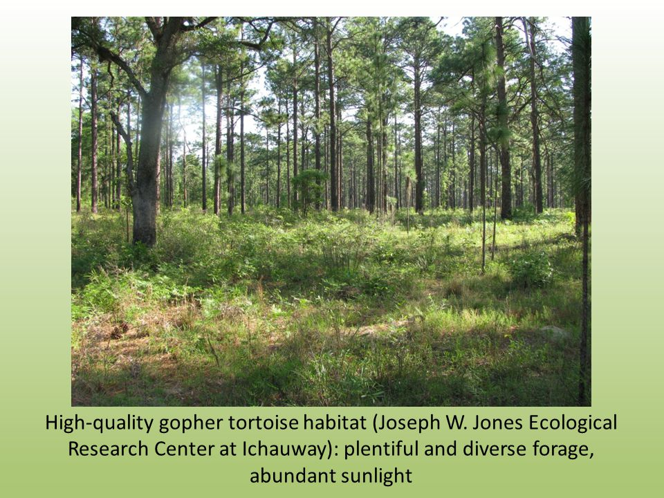 High-quality gopher tortoise habitat (Joseph W.