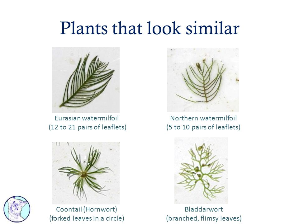 Plants that look similar Eurasian watermilfoil (12 to 21 pairs of leaflets) Northern watermilfoil (5 to 10 pairs of leaflets) Coontail (Hornwort) (for