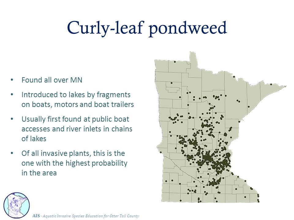 Found all over MN Introduced to lakes by fragments on boats, motors and boat trailers Usually first found at public boat accesses and river inlets in chains of lakes Of all invasive plants, this is the one with the highest probability in the area Curly-leaf pondweed AIS · Aquatic Invasive Species Education for Otter Tail County