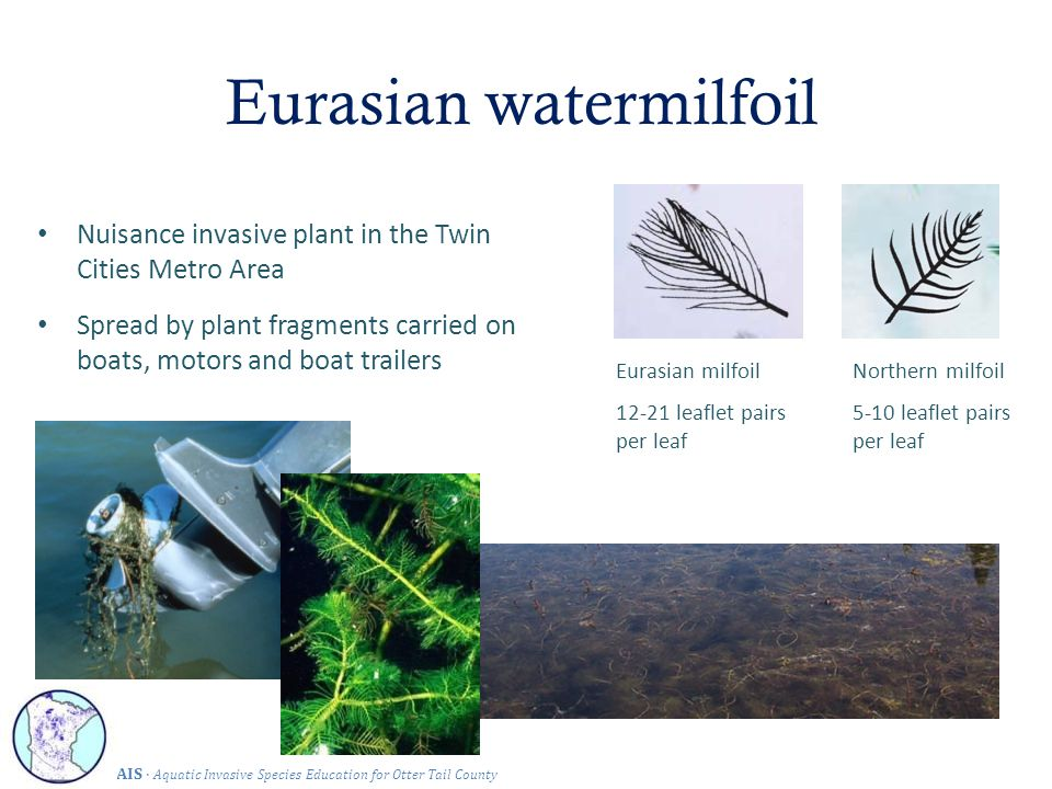 Eurasian watermilfoil Nuisance invasive plant in the Twin Cities Metro Area Spread by plant fragments carried on boats, motors and boat trailers Eurasian milfoil 12-21 leaflet pairs per leaf Northern milfoil 5-10 leaflet pairs per leaf AIS · Aquatic Invasive Species Education for Otter Tail County