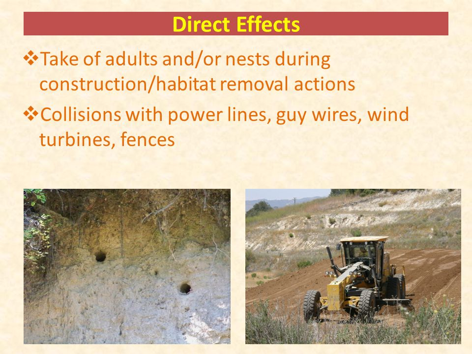 Direct Effects  Take of adults and/or nests during construction/habitat removal actions  Collisions with power lines, guy wires, wind turbines, fences