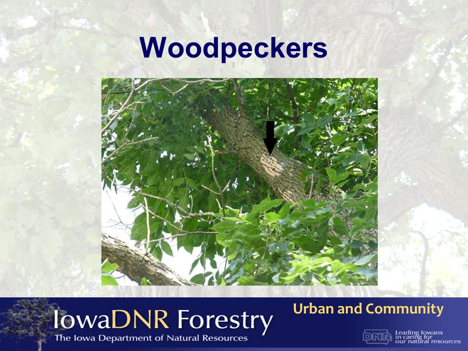Urban and Community Where is Emerald Ash Borer