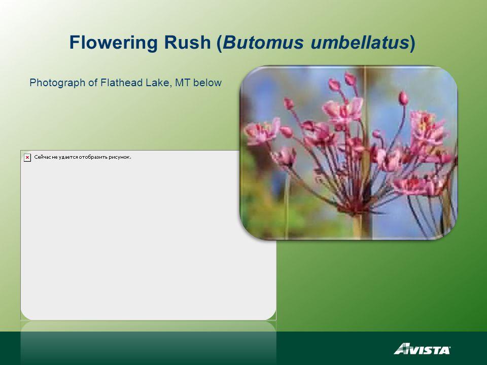 Flowering Rush (Butomus umbellatus) Photograph of Flathead Lake, MT below