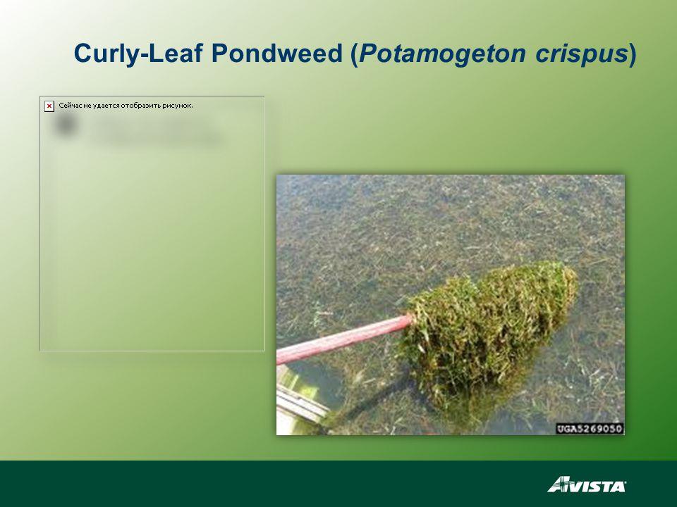 Curly-Leaf Pondweed (Potamogeton crispus)