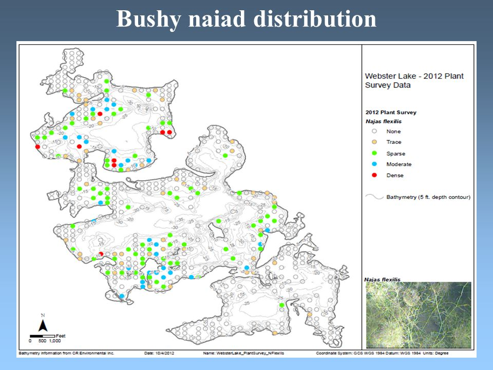 Bushy naiad distribution