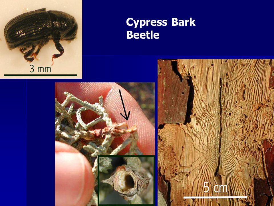 Cypress Bark Beetle