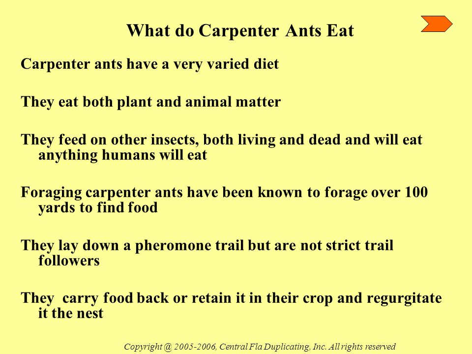 What do Carpenter Ants Eat Carpenter ants have a very varied diet They eat both plant and animal matter They feed on other insects, both living and dead and will eat anything humans will eat Foraging carpenter ants have been known to forage over 100 yards to find food They lay down a pheromone trail but are not strict trail followers They carry food back or retain it in their crop and regurgitate it the nest Copyright @ 2005-2006, Central Fla Duplicating, Inc.