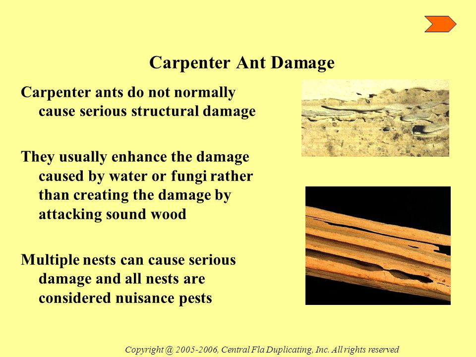 Carpenter Ant Damage Carpenter ants do not normally cause serious structural damage They usually enhance the damage caused by water or fungi rather than creating the damage by attacking sound wood Multiple nests can cause serious damage and all nests are considered nuisance pests Copyright @ 2005-2006, Central Fla Duplicating, Inc.