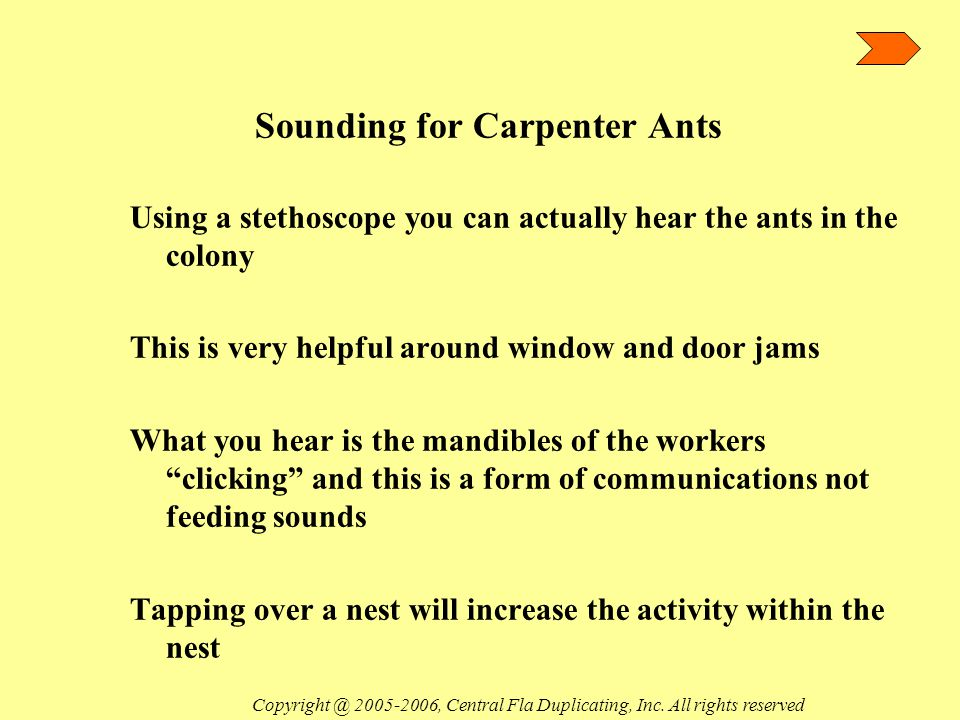 Sounding for Carpenter Ants Using a stethoscope you can actually hear the ants in the colony This is very helpful around window and door jams What you hear is the mandibles of the workers clicking and this is a form of communications not feeding sounds Tapping over a nest will increase the activity within the nest Copyright @ 2005-2006, Central Fla Duplicating, Inc.
