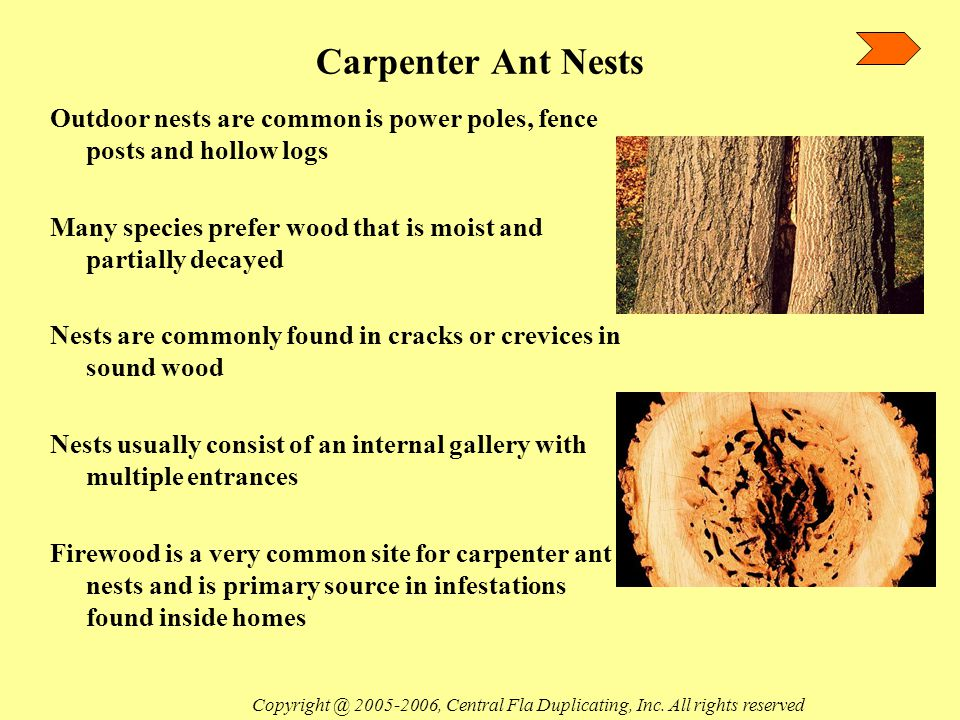 Finding a Carpenter Ant Nest Foraging carpenter ants may be entering structures only to feed or find water Tree limbs, shrubs and wires which touch the structure can serve as avenues for the ants to follow when foraging Interior nests are commonly found in fireplaces, around patio structures and in basements Foraging workers are not a definite indication that a carpenter ant colony is in a structure Copyright @ 2005-2006, Central Fla Duplicating, Inc.
