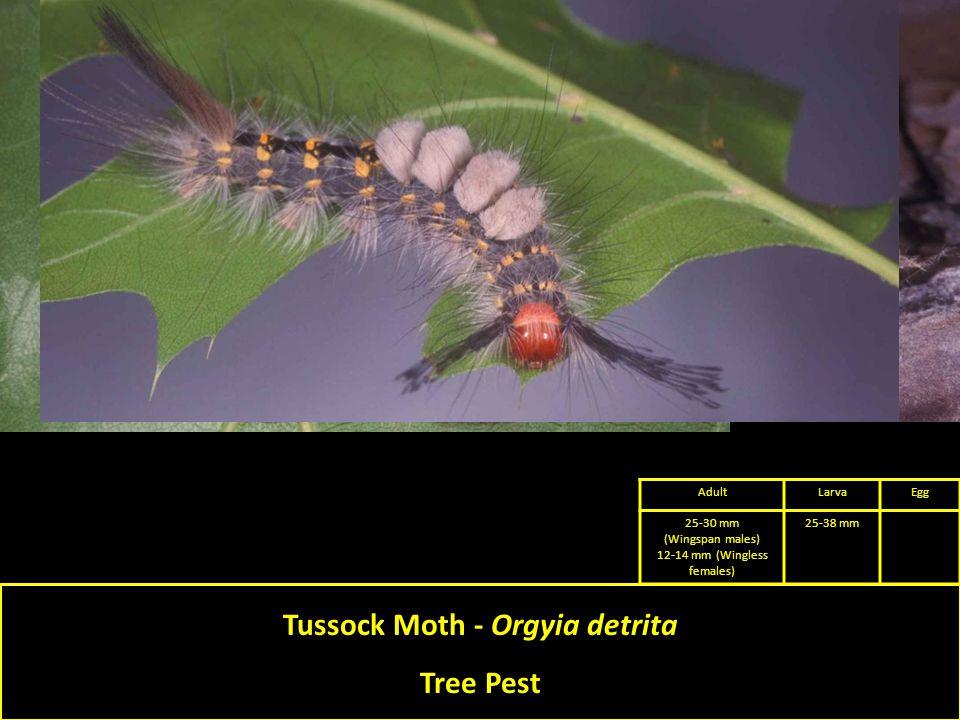 Tussock Moth - Orgyia detrita Tree Pest AdultLarvaEgg 25-30 mm (Wingspan males) 12-14 mm (Wingless females) 25-38 mm