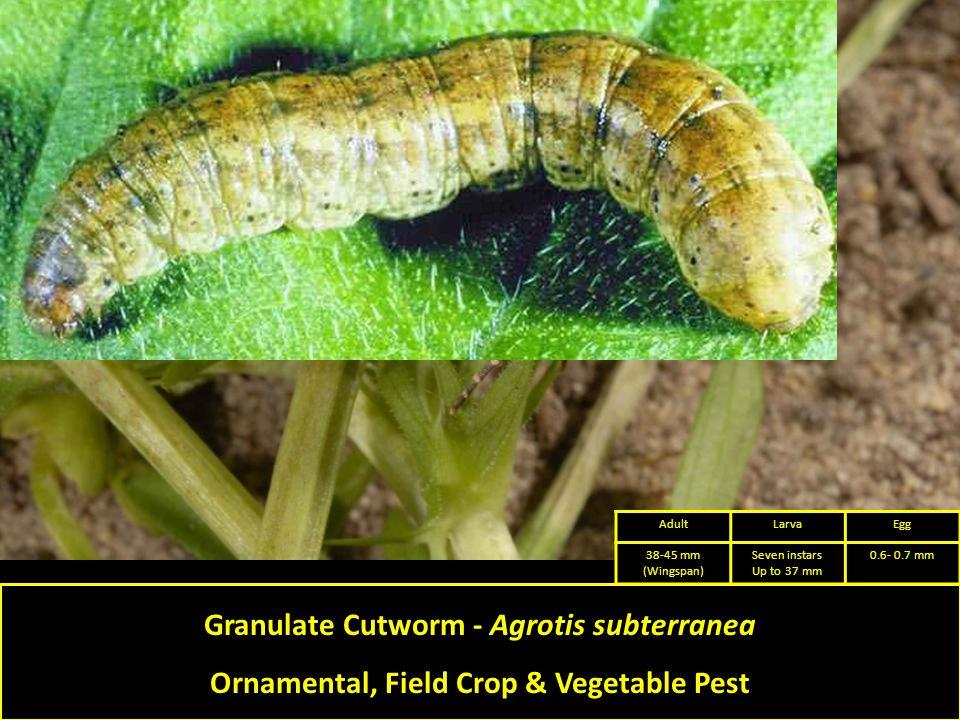 Granulate Cutworm - Agrotis subterranea Ornamental, Field Crop & Vegetable Pest AdultLarvaEgg 38-45 mm (Wingspan) Seven instars Up to 37 mm 0.6- 0.7 mm